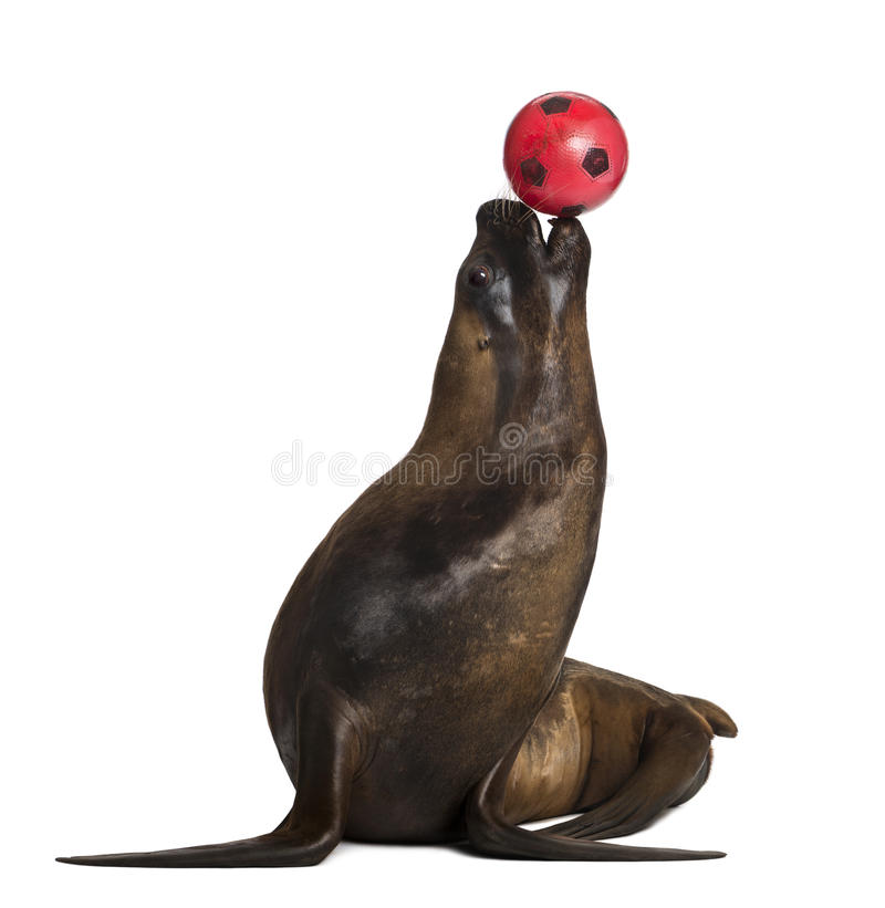 California Sea Lion, 17 years old, playing with ball stock photography