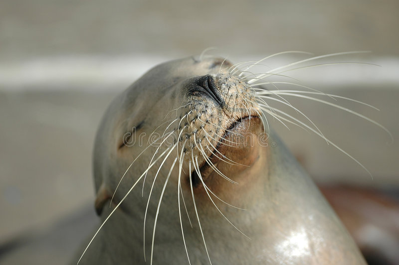 Download California Sea Lion stock photo. Image of mammal, whiskers - 2340948