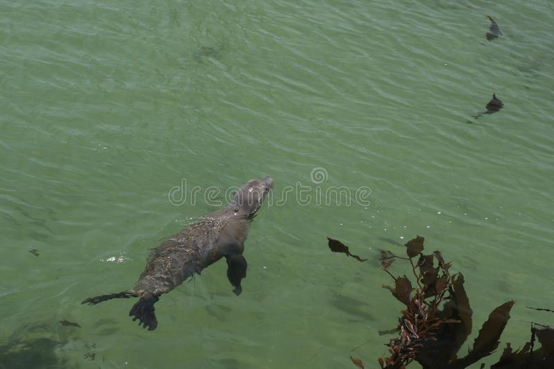 Download California sea lion stock image. Image of floating, rock - 5698361