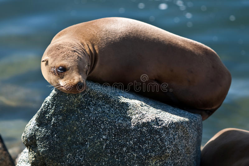 Download California Sea Lion In Afternoon Sun Stock Image - Image of tourism, travel: 14900251