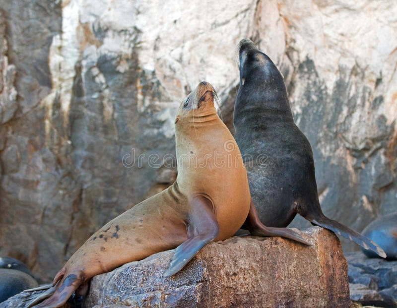 "California Sea Lion couple on La Lobera ""the Wolves Lair"" the Sea Lion colony rock at Los Arcos at Lands End in Cabo San Lucas royalty free stock image"