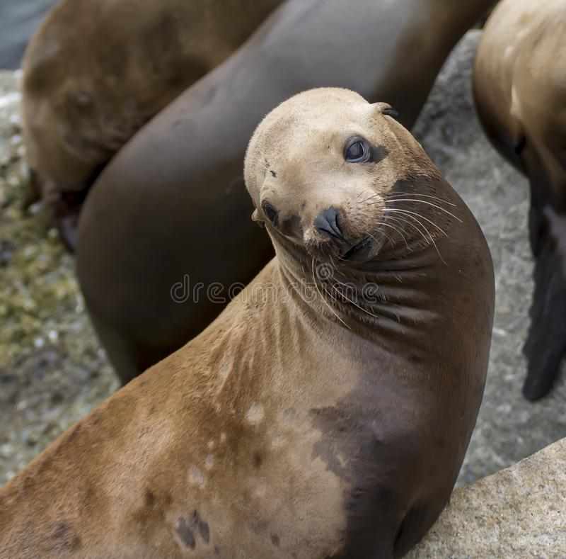 California Sea Lion Sunning on Rock Close Up royalty free stock image
