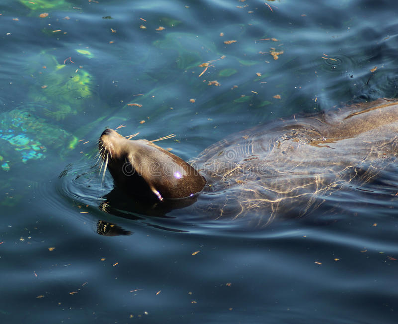 California sea lion swimming. In the lake. Foto taken in blijdorp zoo in Rotterdam, Netherlands royalty free stock images