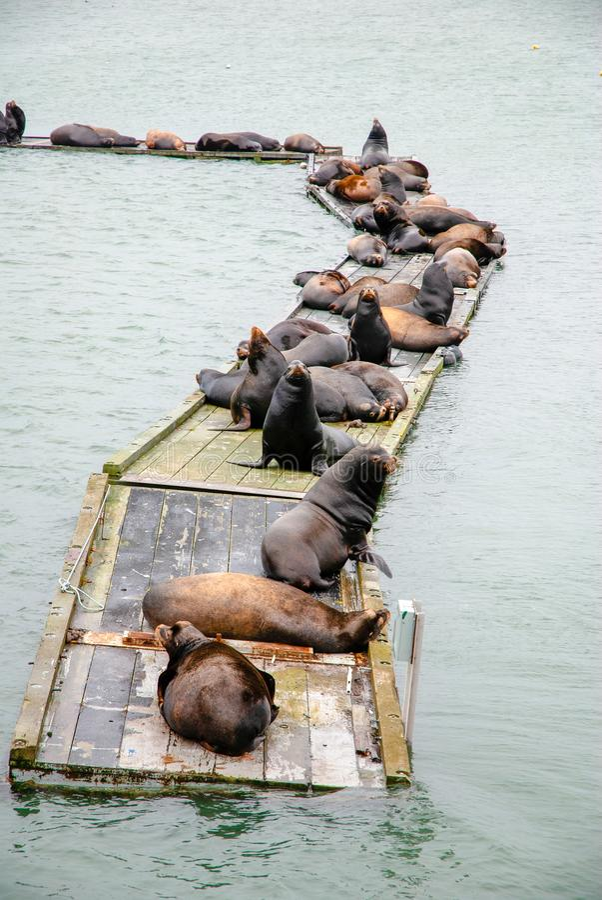 California Sea Lions Basking stock photo