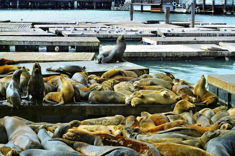 Download California Sea Lions On Pier 39 In San Francisco Stock Photo - Image: 23051288
