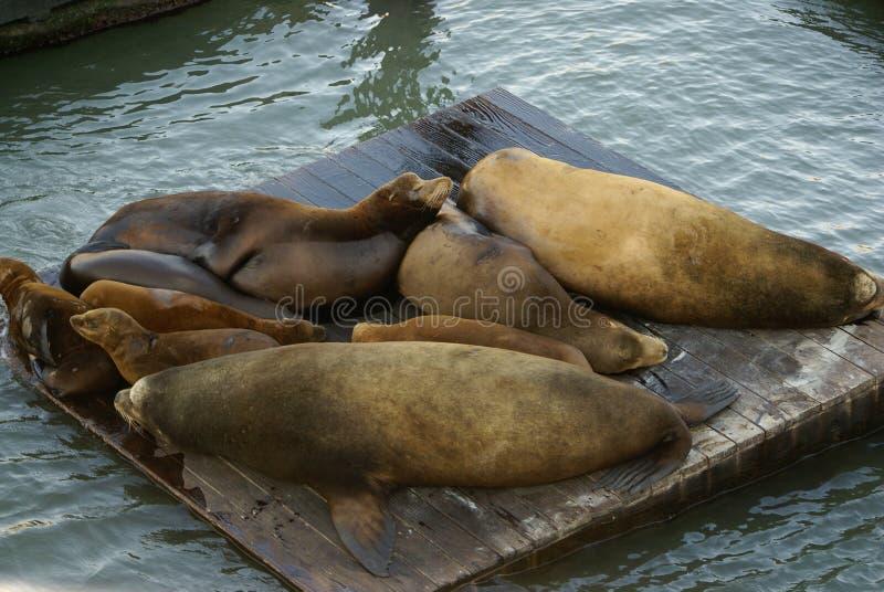 California Sea Lions on Pier 39, San Francisco Bay, California, USA. California Sea Lions Haul out on docks of Pier 39's Marina, San Francisco Bay, California royalty free stock image