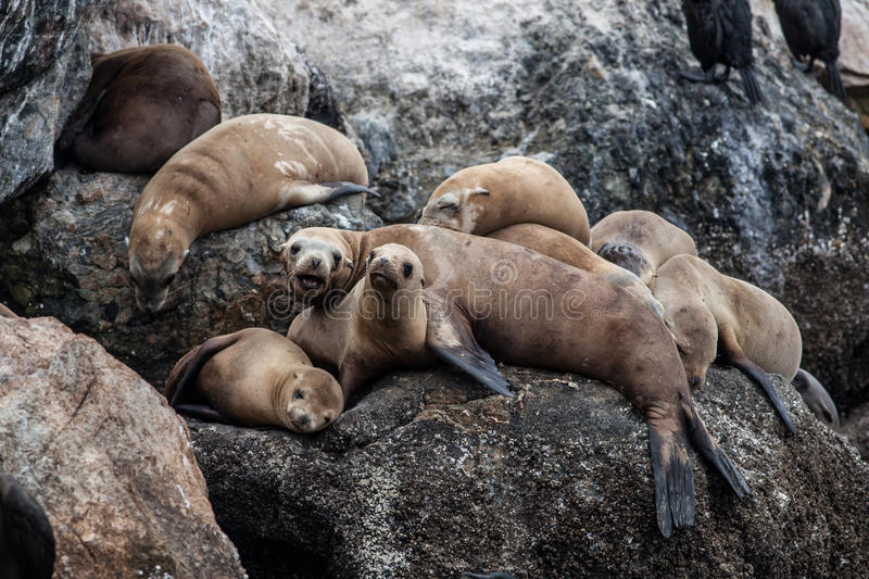 California Sea Lions. The rocky and beautiful coast of Monterey Bay, California, is home a large colony of sea lions. These gregarious mammals share the rugged royalty free stock photo