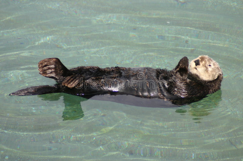 The California Sea Otter. A California Sea Otter relaxes in the waters of Monterey, California