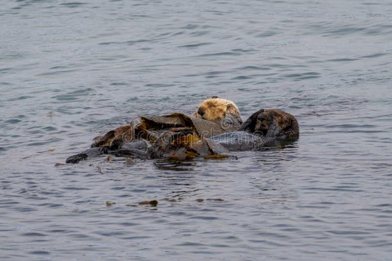 California Sea Otter Enhydra lutris nereis stock image