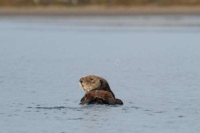 California sea otter looking thoughtful. A beautiful California sea otter,Enhydra lutris nereis,  takes a look around Morro Bay, California, where otters have stock photos