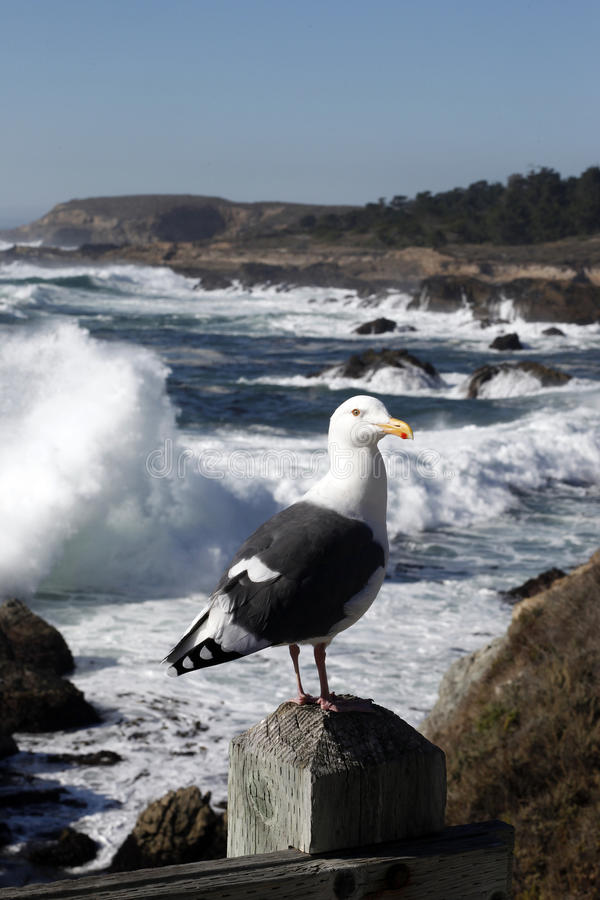 Free California Seagull Stock Photo - 23847170
