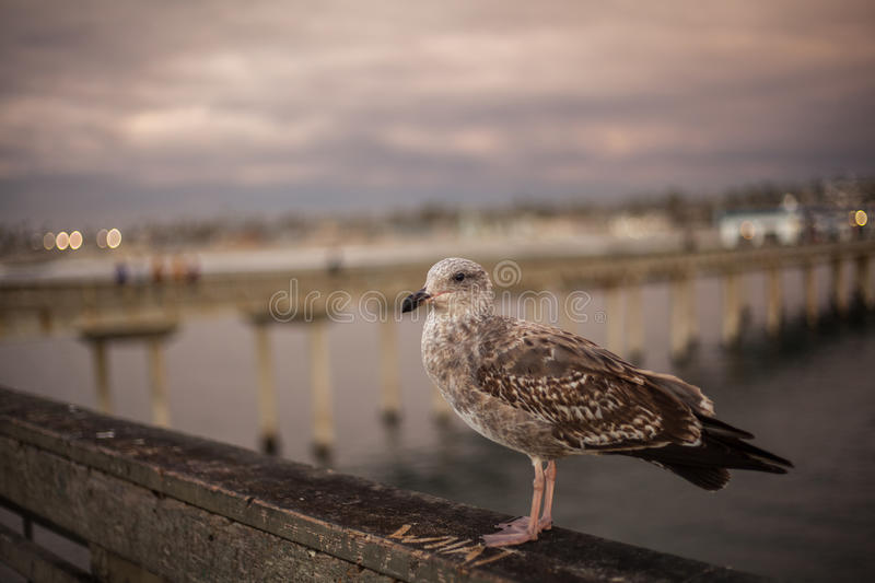 California Seagull in San Diego on beach. With sea, sky royalty free stock photography