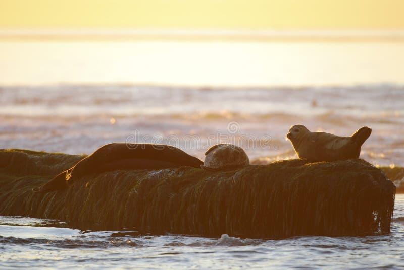 California seals enjoying the sunset stock photography