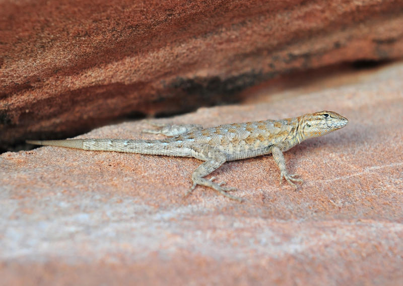 Download California Side Blotched Lizard,Nevada,United Stat Stock Image - Image: 19728547