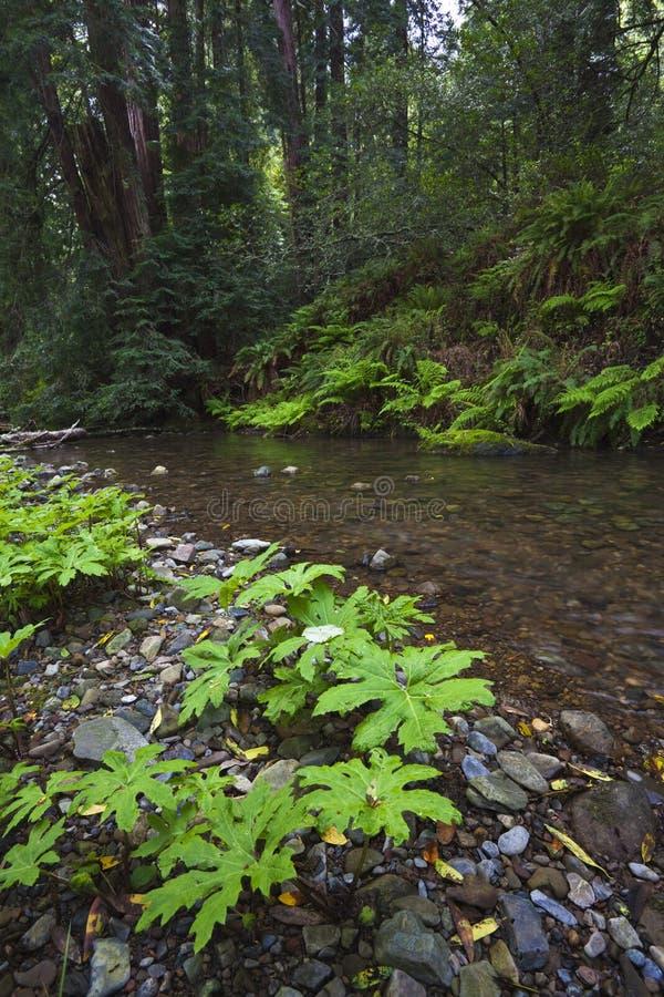 california strumień lasowy północny obraz royalty free
