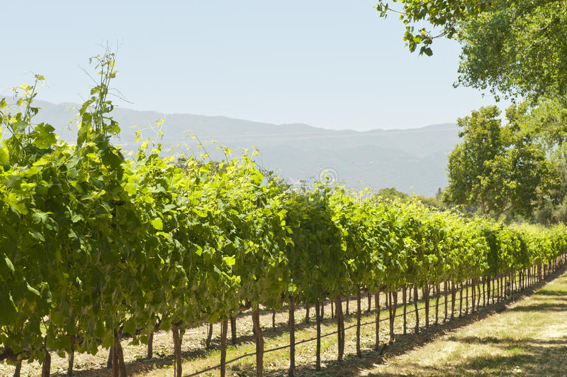 Download California Sun-soaked Vineyard Stock Photo - Image: 20118630