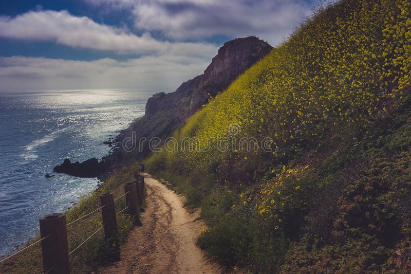California Super Bloom of 2017, Rancho Palos Verdes. Hiking trail surrounded by beautiful yellow wildflowers with beach view during the California Super Bloom of royalty free stock images