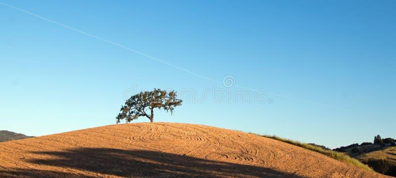 California Valley Oak Tree in plowed fields under blue sky in Paso Robles wine country in Central California USA. California Valley Oak Tree in plowed fields royalty free stock image