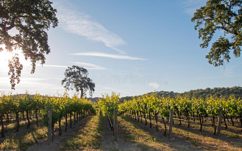 California Valley Oak tree in vineyard at sunrise in Paso Robles vineyard in the Central Valley of California USA. California Valley Oak tree in vineyard at royalty free stock image