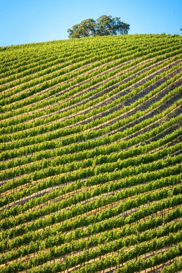 California Vineyard royalty free stock image