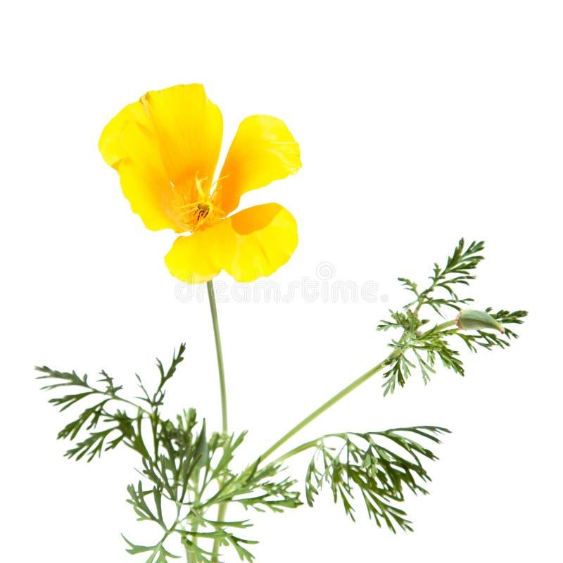 Californian poppy royalty free stock photo