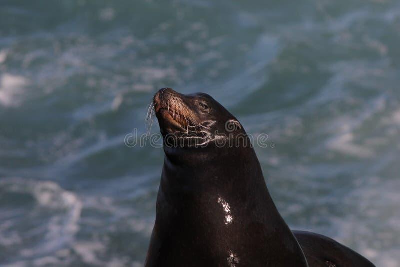 Californianus 3 di Lion Zalophus del mare di California fotografia stock libera da diritti