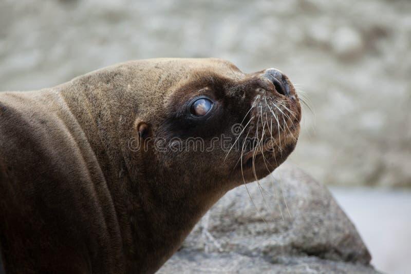 Download Californianus Zalophus морсого льва Калифорнии Стоковое Изображение - изображение насчитывающей mammal, пожило: 81810365