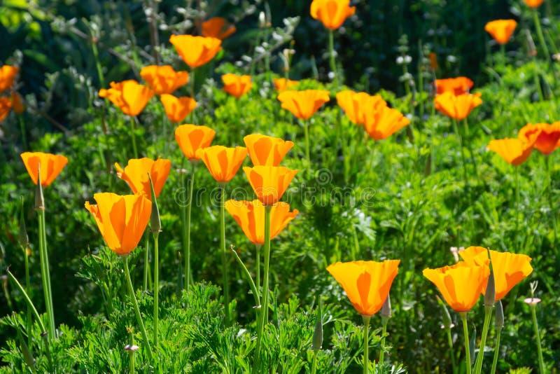 Californica de Eschscholzia da flor da papoila de Califórnia que floresce em um dia ensolarado fotografia de stock royalty free