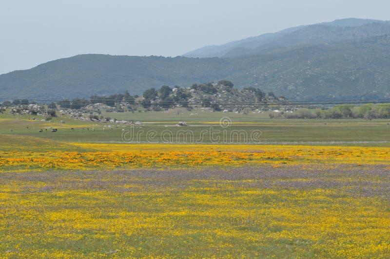 Californica Eschscholzia мака Калифорнии в луге стоковое фото rf