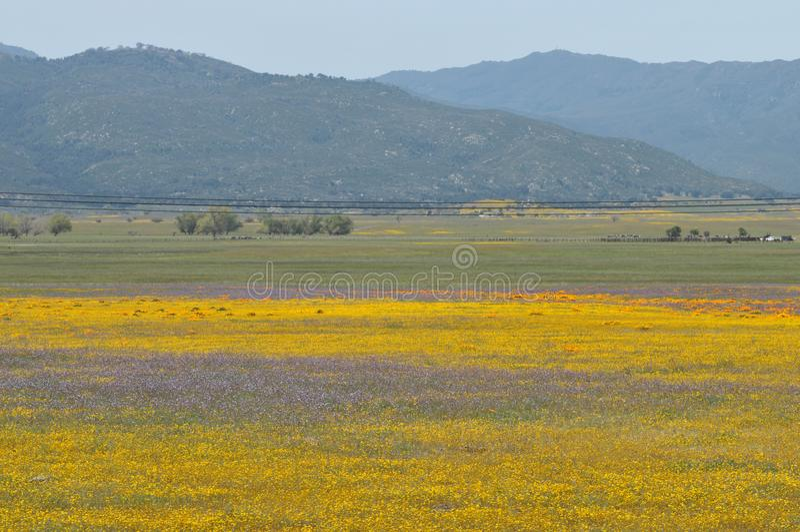 Californica Eschscholzia мака Калифорнии в луге стоковые фото
