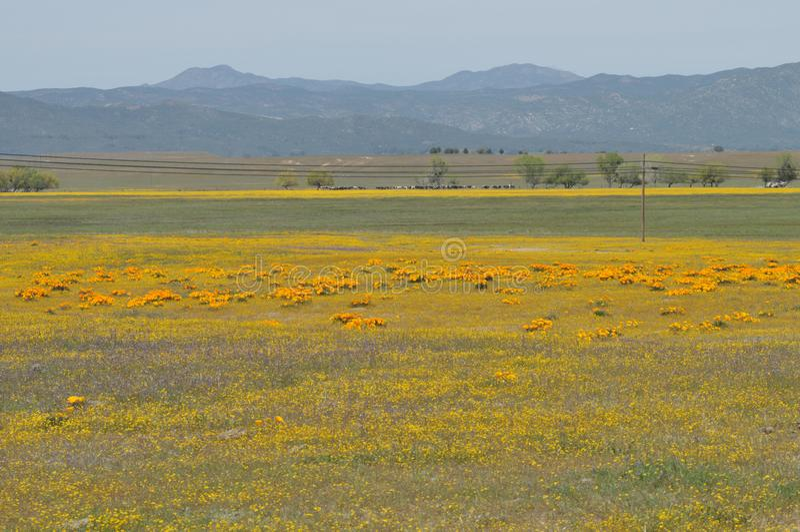 Californica Kaliforniens Poppy Eschscholzia in der Wiese lizenzfreie stockfotografie