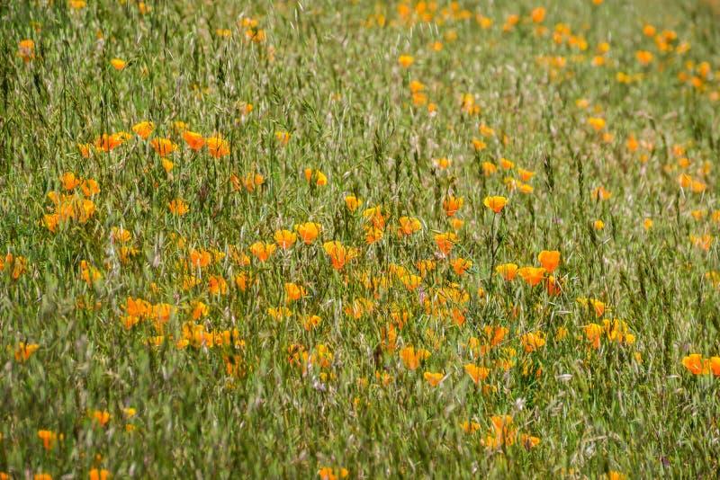 Californica van de papaverseschscholzia van Californië het groeien onder invasief gras, de baai van San Francisco, Californië stock foto