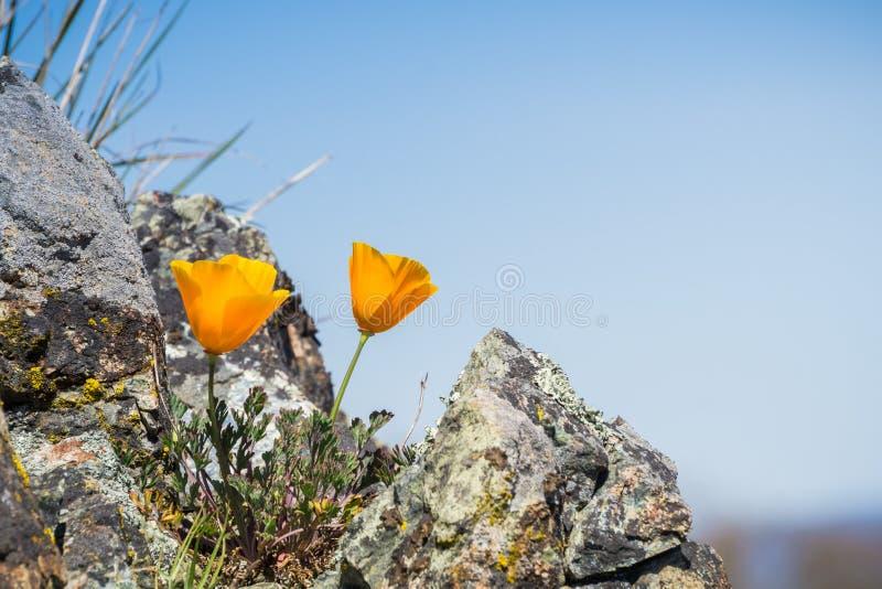 Californica van de Papaverseschscholzia van Californië het groeien onder rotsen op een blauwe hemelachtergrond, Henry W Het Park  stock foto