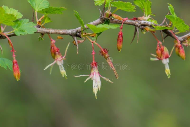 Californicum do Ribes da groselha do montanhês, Califórnia fotografia de stock