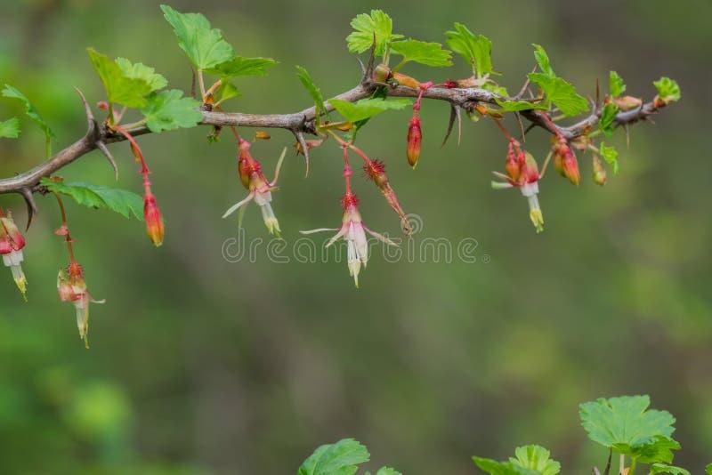 Californicum do Ribes da groselha do montanhês, Califórnia imagem de stock royalty free