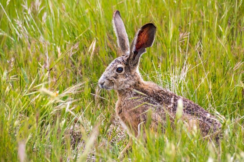 Californicus à queue noire de Lepus de lièvre images stock