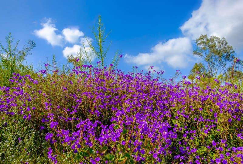Californie-mauvaises herbes et fleurs de pourpre photos libres de droits
