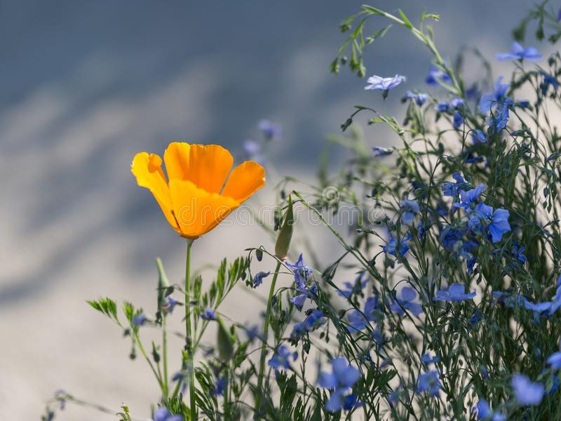 Californien orange Poppy Flower, usine d'Eschscholzia Californica photo libre de droits