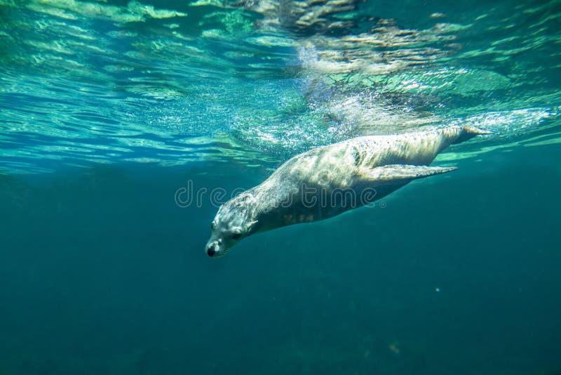 Californische californianus die van zeeleeuwzalophus underwate zwemmen stock foto
