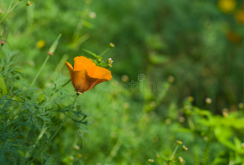 Californische papaver die in een tuin wordt verloren stock foto's