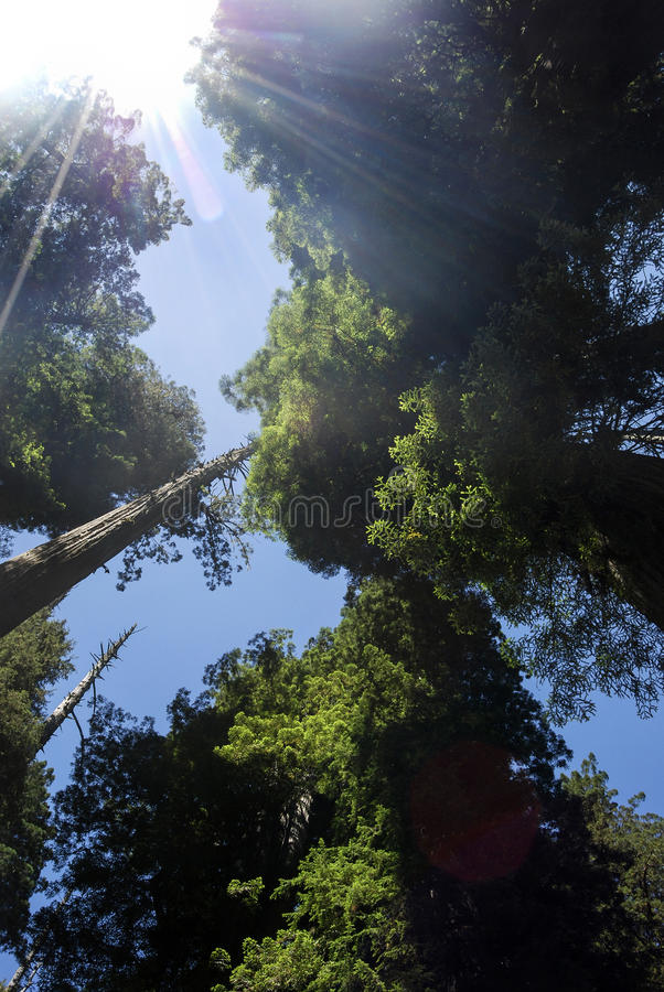Californische sequoia Forest Lens Flare stock afbeelding