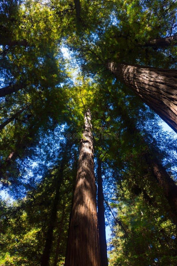 Californische sequoia Forest Trees stock afbeeldingen