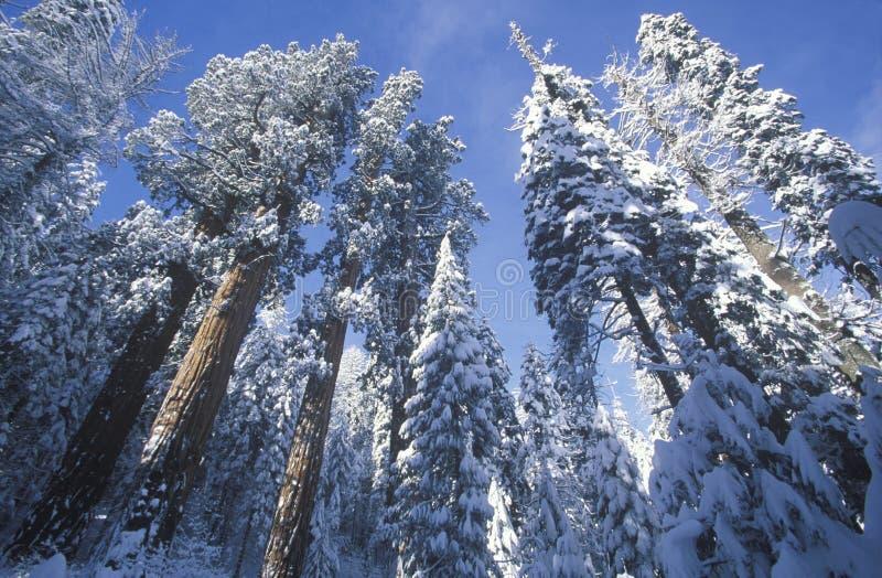 Californische sequoia's in Sneeuw, Sequoia Nationaal Park, Californië worden behandeld dat royalty-vrije stock foto