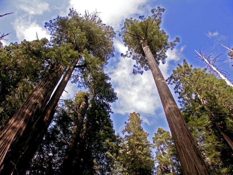 Californische sequoiabomen royalty-vrije stock foto's