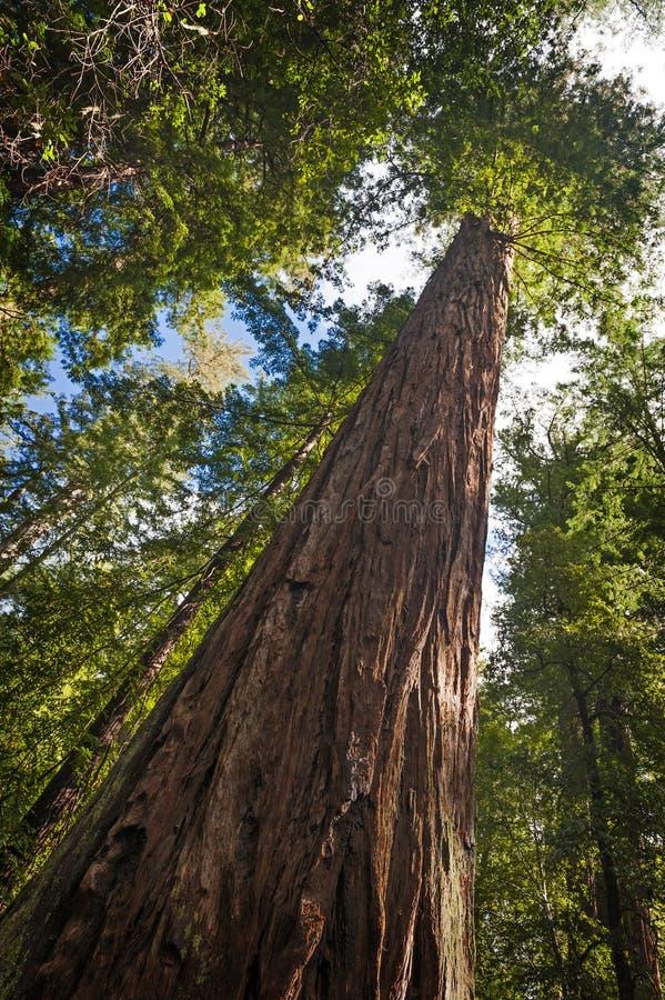 Californische sequoiaboom royalty-vrije stock foto