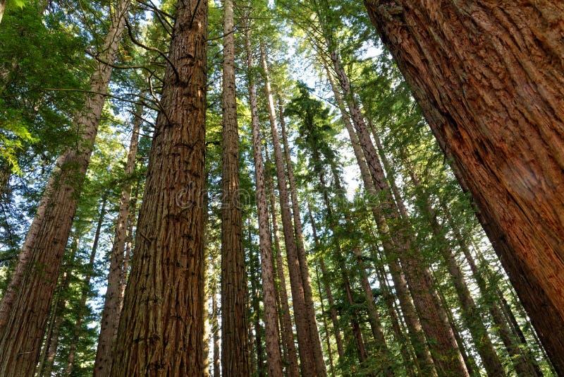 Californische sequoiabos in Rotorua, Nieuw Zeeland royalty-vrije stock fotografie