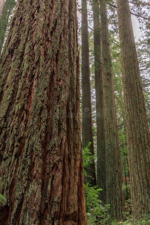 Californische sequoiabosje stock afbeeldingen