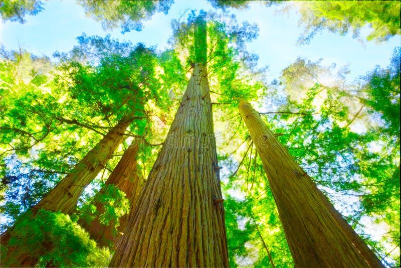 Californische sequoiabosje in Noord-Californië. stock foto