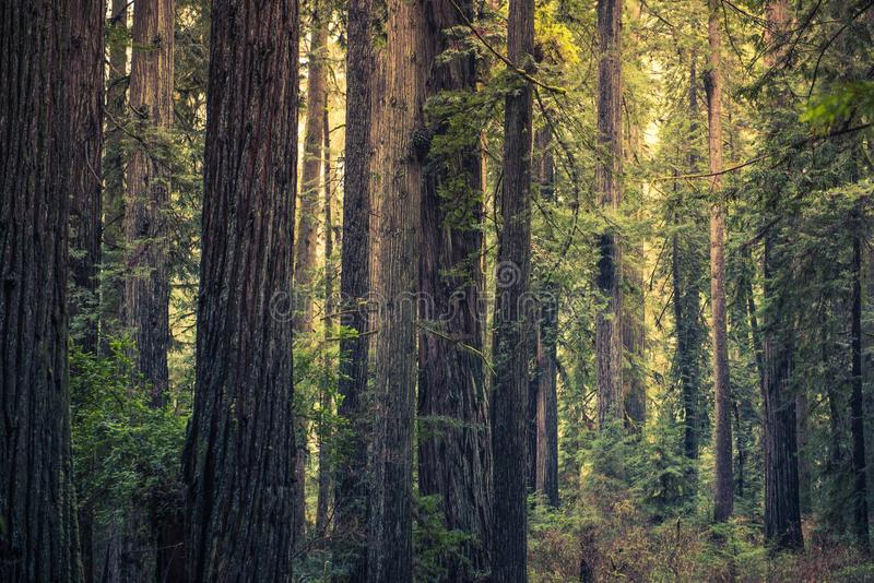 Californische sequoiageheimzinnigheid Bos royalty-vrije stock foto