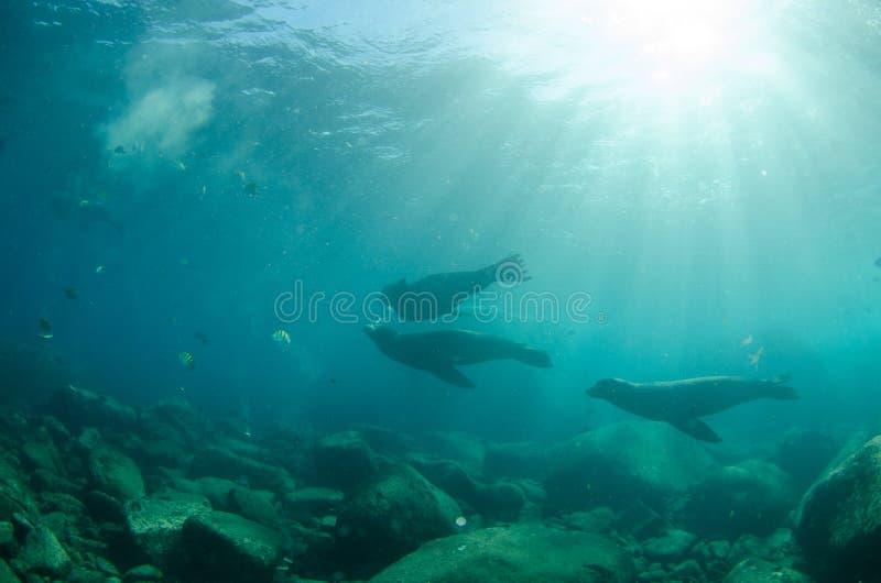 Californische zeeleeuw stock foto's